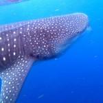 ジンベイザメがいる水族館はここだ!間近で触れ合う事ができるダイビングスポットとは?